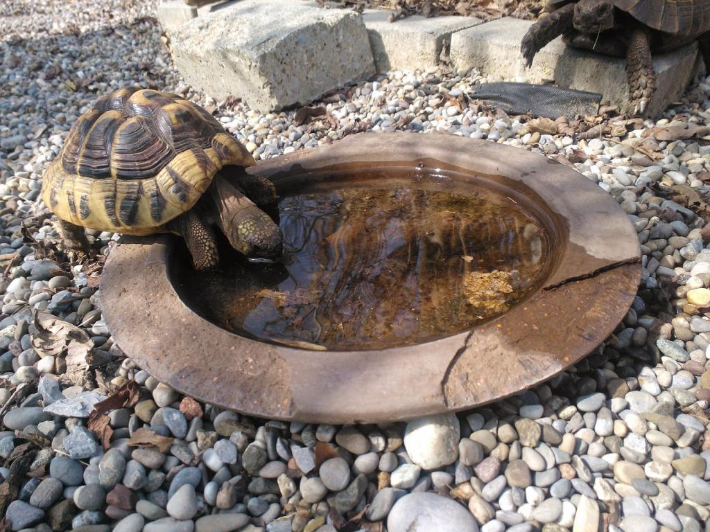 Нужно ли поить сухопутную черепаху?