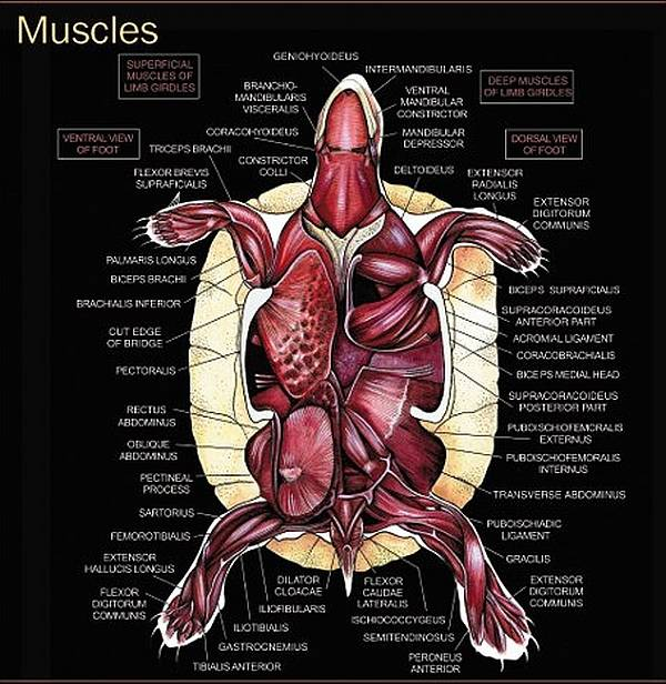Строение черепахи сухопутной. все о строении тела черепах. скелет карапакса и пластрона