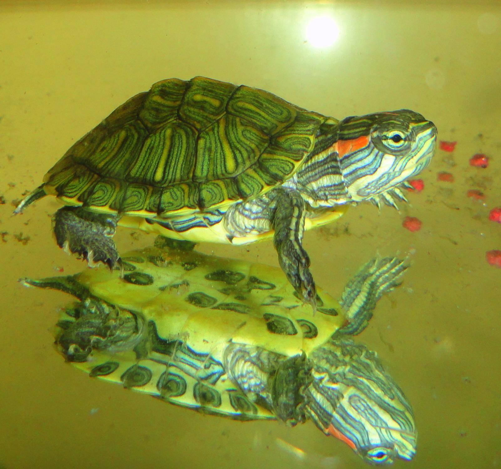 Размножение красноухих черепах