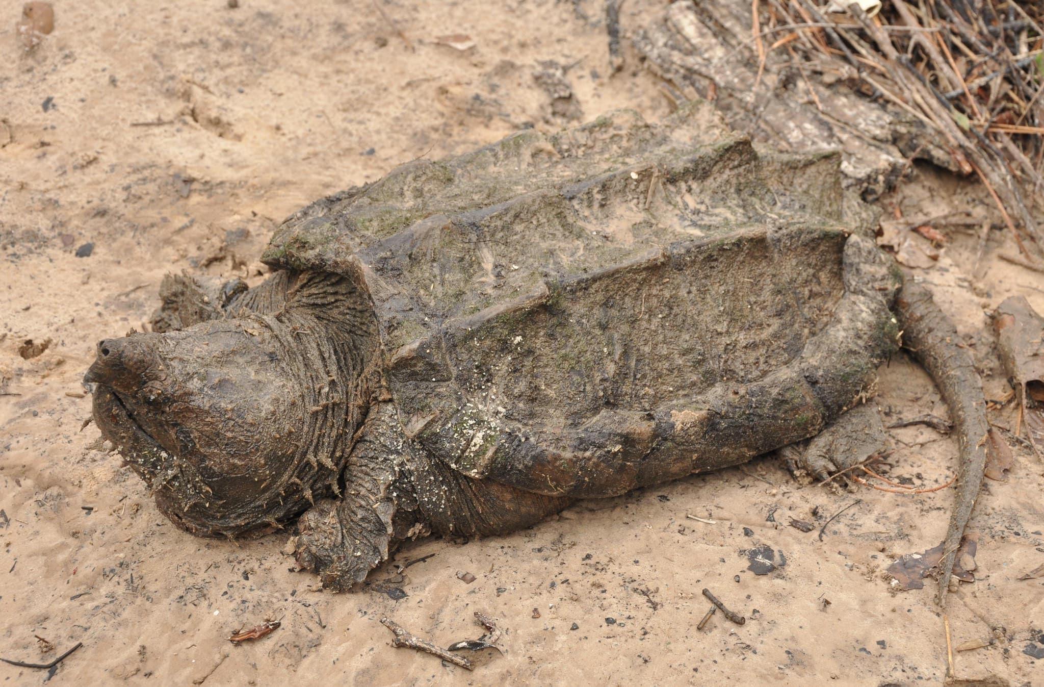 Аллигатор щелкать черепаха - alligator snapping turtle