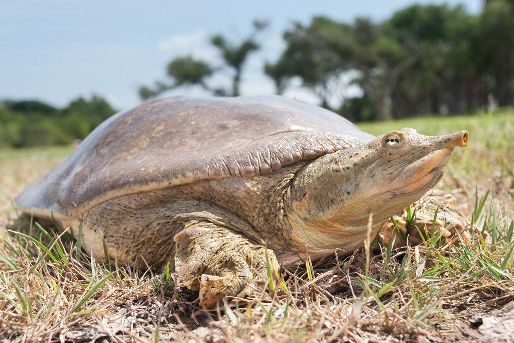 Дальневосточная черепаха (китайский трионикс): описание, содержание и уход за питомцем