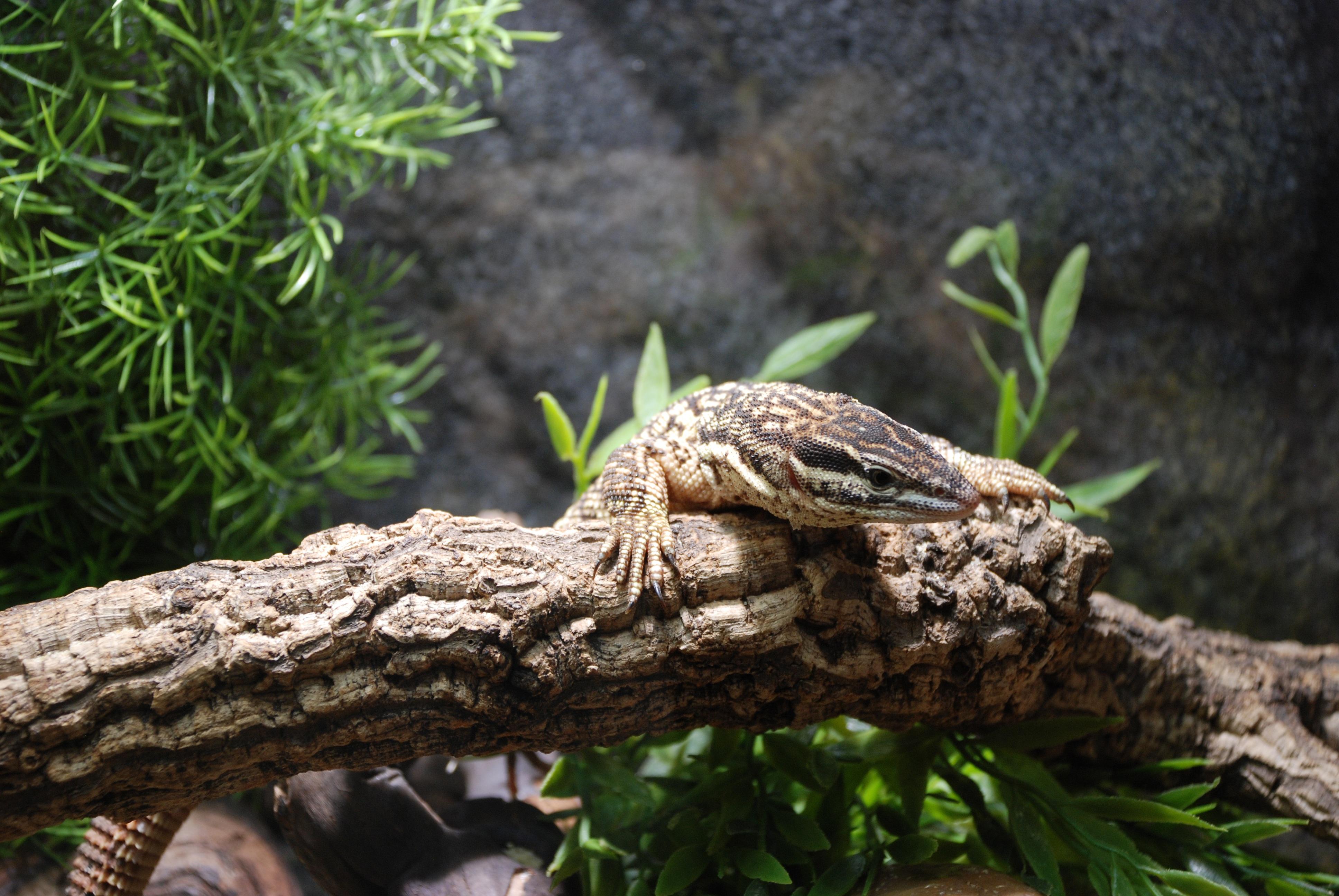 Живородящая ящерица