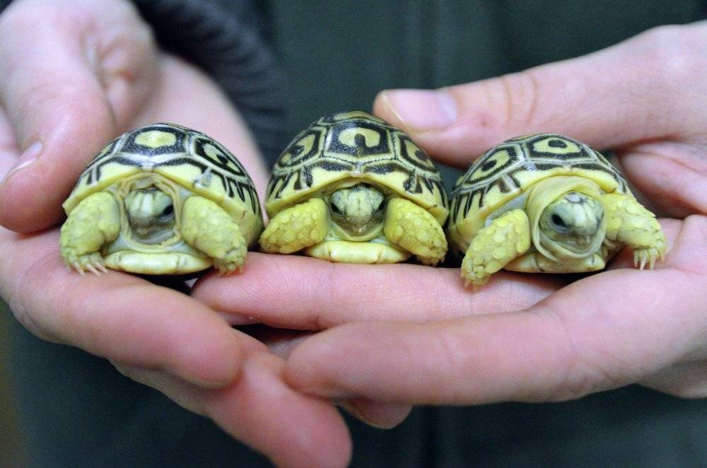 Сонник приручить черепаху. к чему снится приручить черепаху видеть во сне - сонник дома солнца. страница 5