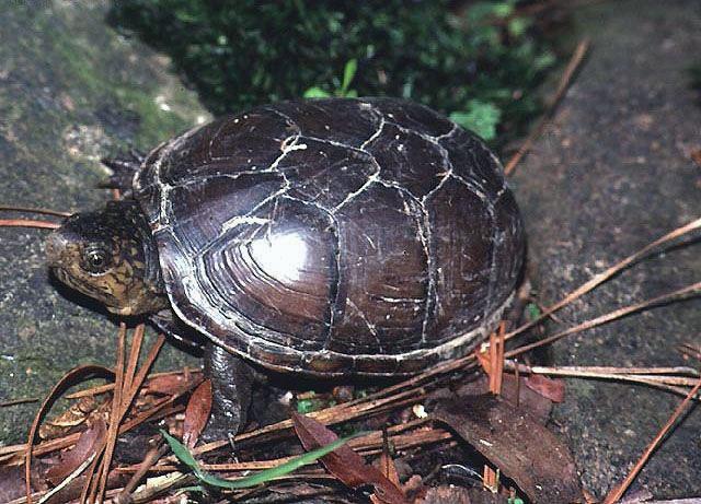 Сонорская замыкающаяся черепаха