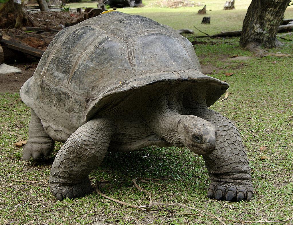 Слоновая черепаха — википедия
