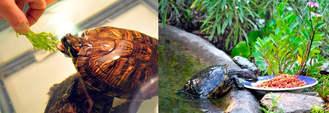 Красноухая черепаха: критерии выбора, цена, особенности содержания