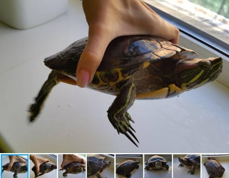 Сколько может без воды красноухая черепаха