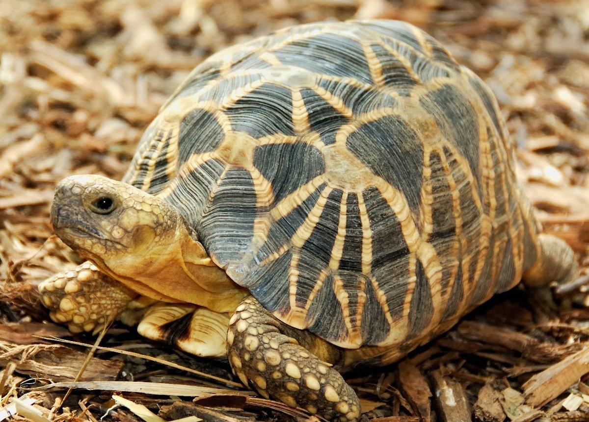 Излучаемая черепаха - radiated tortoise - qwe.wiki