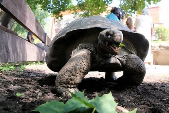 Среднеазиатская черепаха – идеальный питомец