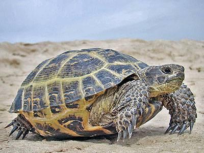 Среднеазиатская черепаха ²