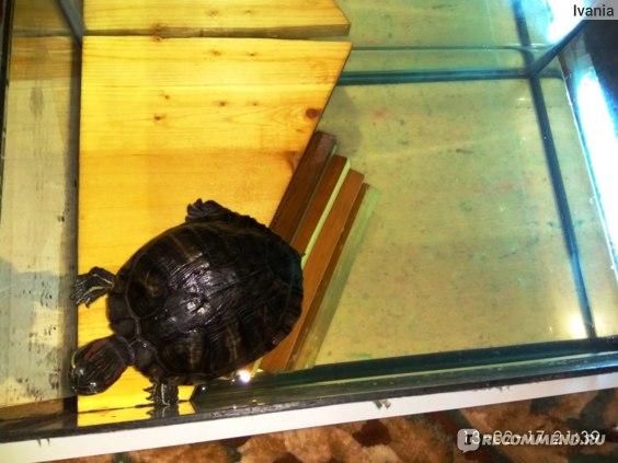 Может ли сухопутная черепаха плавать