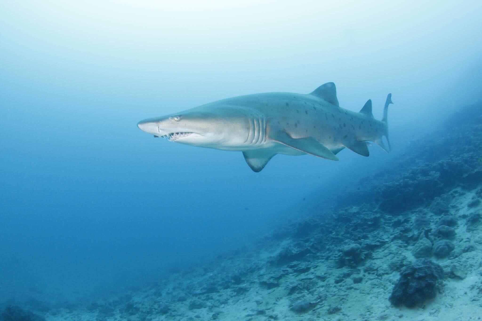 Акулы Атлантического океана