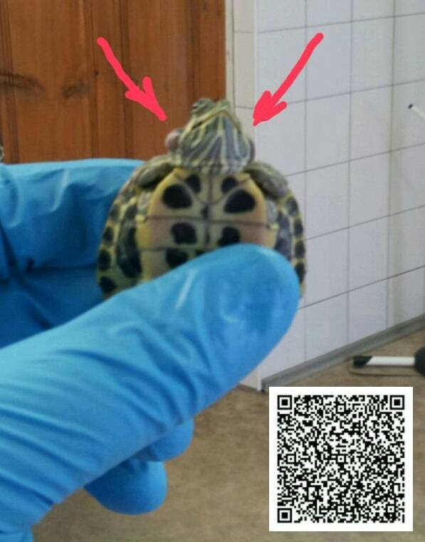 Болезни красноухих черепах: симптомы и лечение