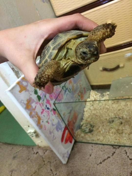 Как перевозить красноухую черепаху