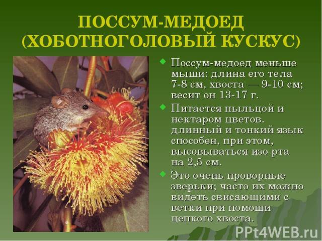 Хоботноголовый кускус (поссум-медоед)
