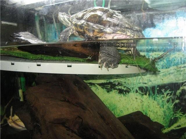 Почему красноухая черепаха не выходит на сушу (островок)