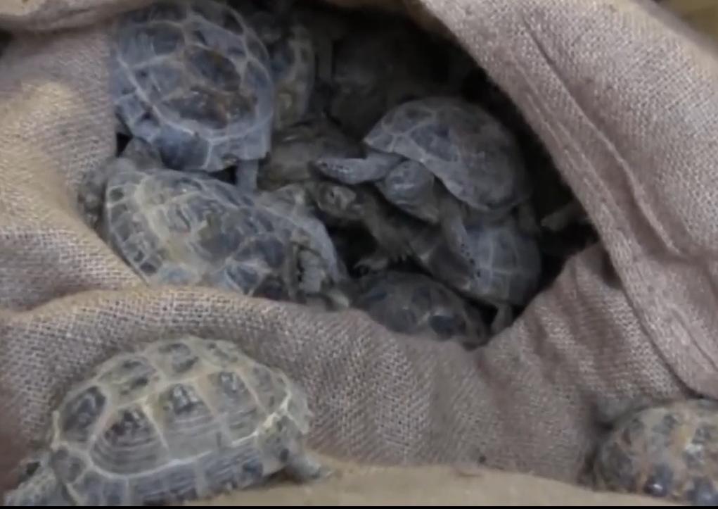 Недалеко ушли: контрабандисты провезли в кузове грузовика 4 тыс. черепах
