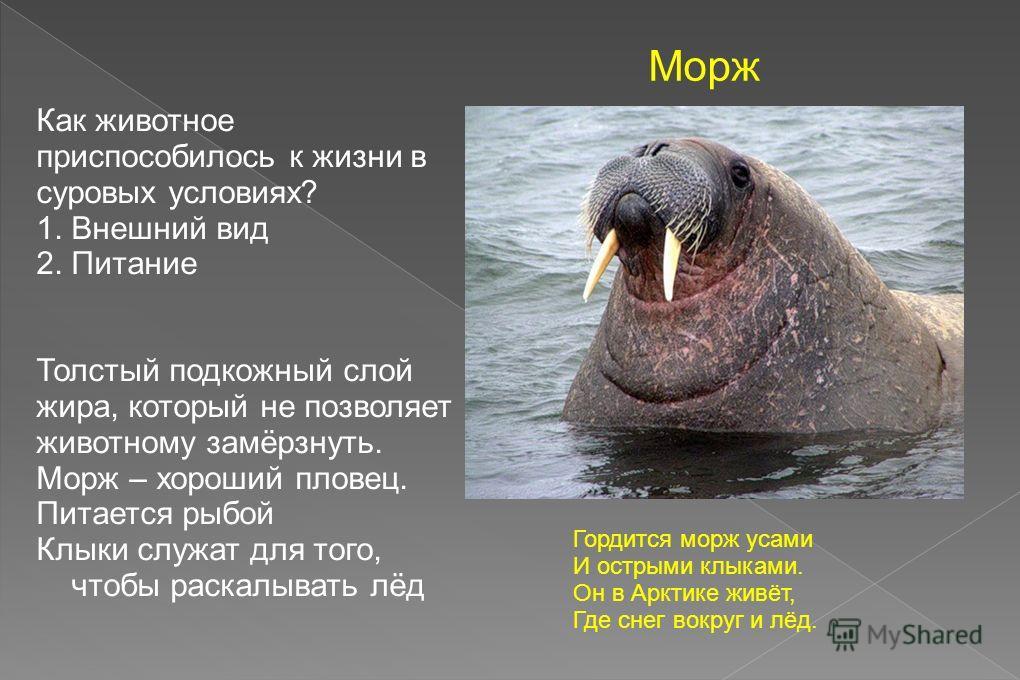 Морж – что это за животное?