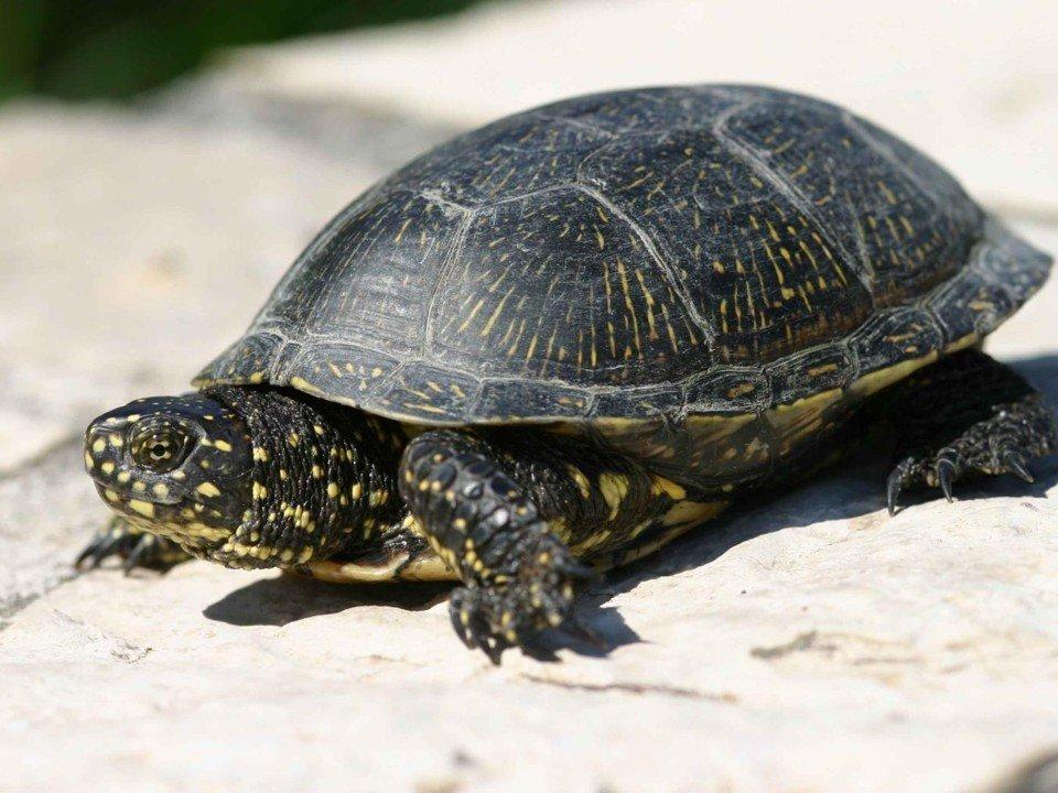 Европейская болотная черепаха — википедия переиздание // wiki 2