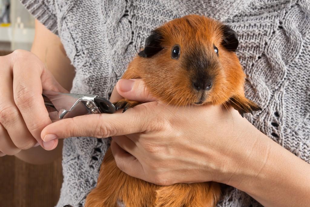 Стригут ли морским свинкам когти и как это делается?