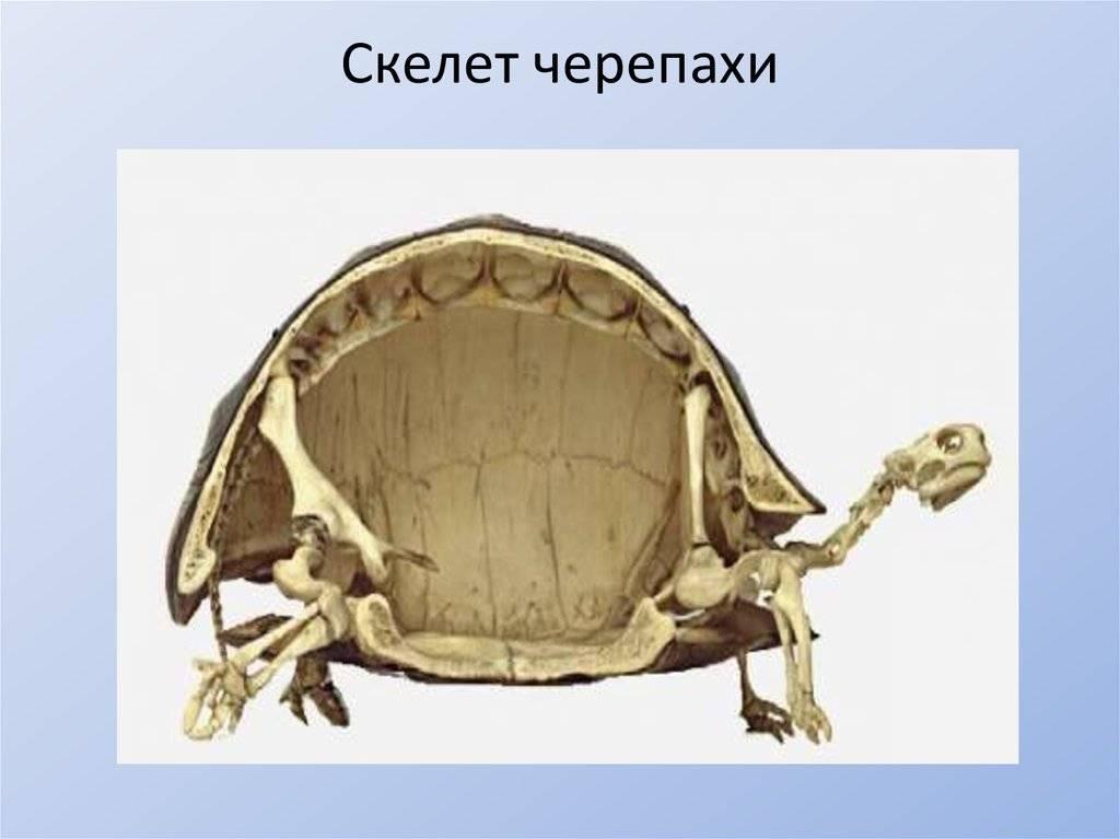 Панцирь черепах сращен с позвоночником и ребрами или нет