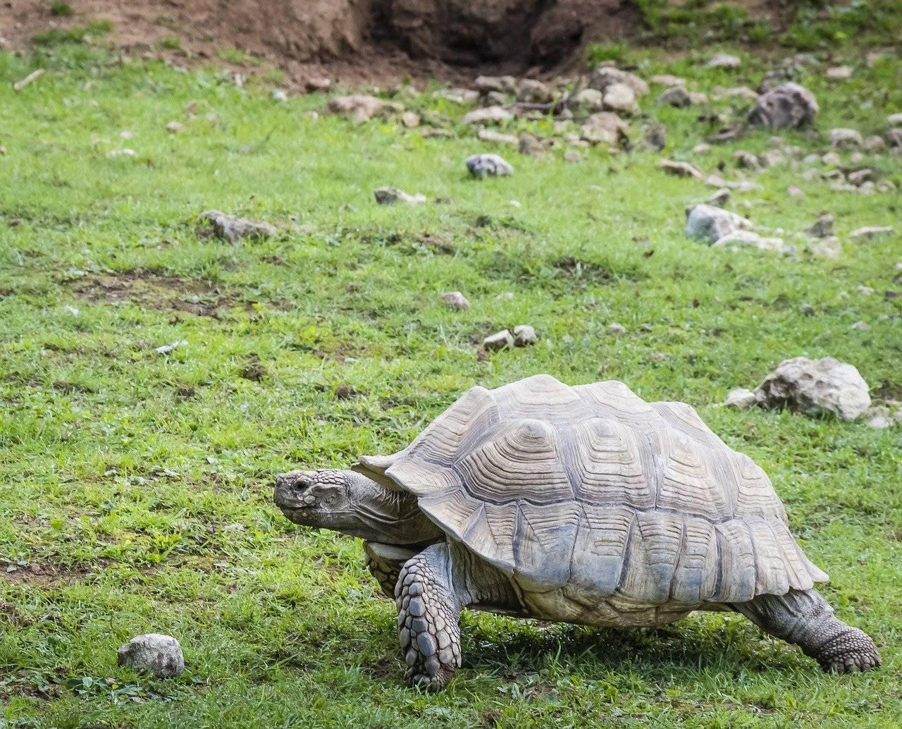 Centrochelys sulcata (шпороносная черепаха) - черепахи.ру - все о черепахах и для черепах