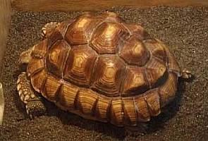 Панцирь вымершей черепахи - предмет - world of warcraft