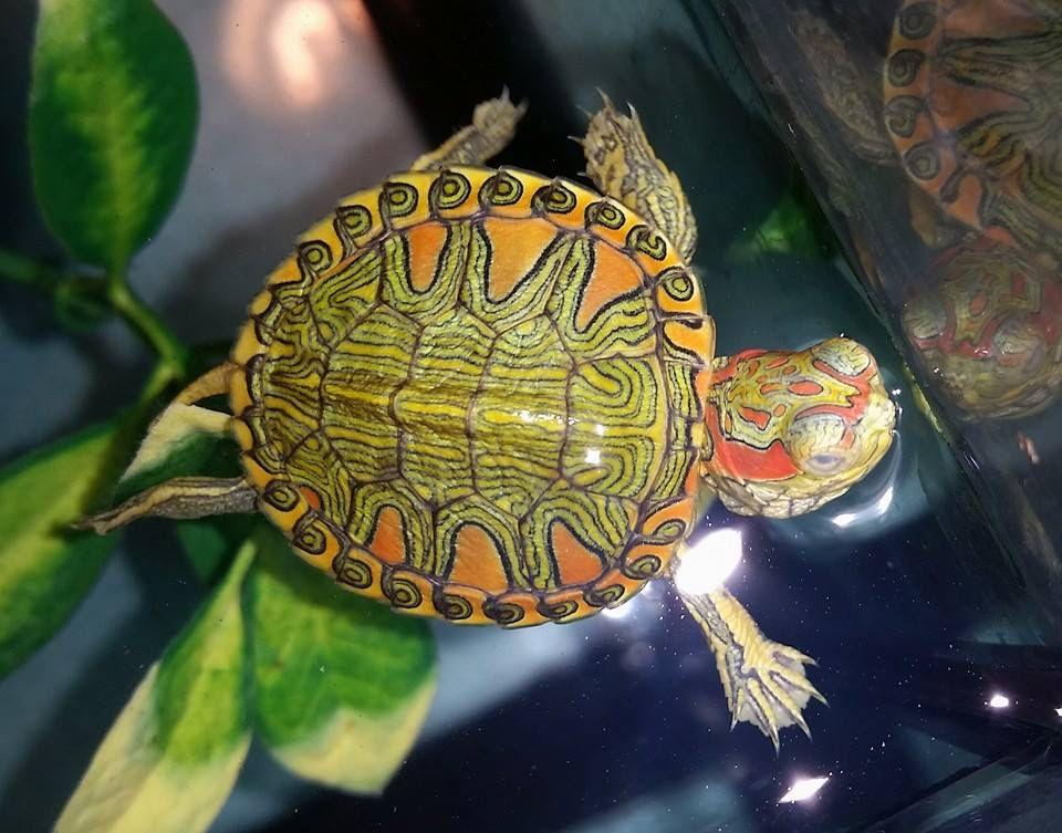 Как выглядит красноухая черепаха?