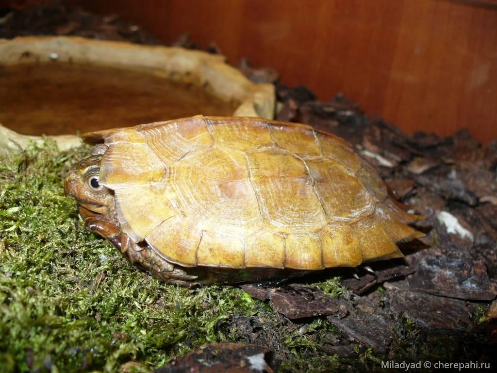 Geoemyda spengleri (горная черепаха шпенглера) - черепахи.ру - все о черепахах и для черепах