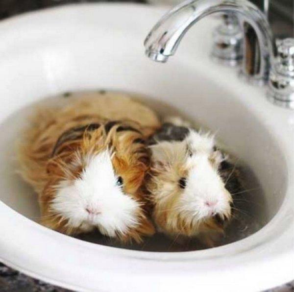 Как купать морских свинок и можно ли это делать в воде?