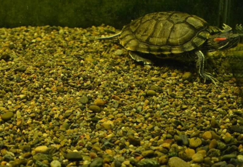 Красноухая черепаха в аквариуме