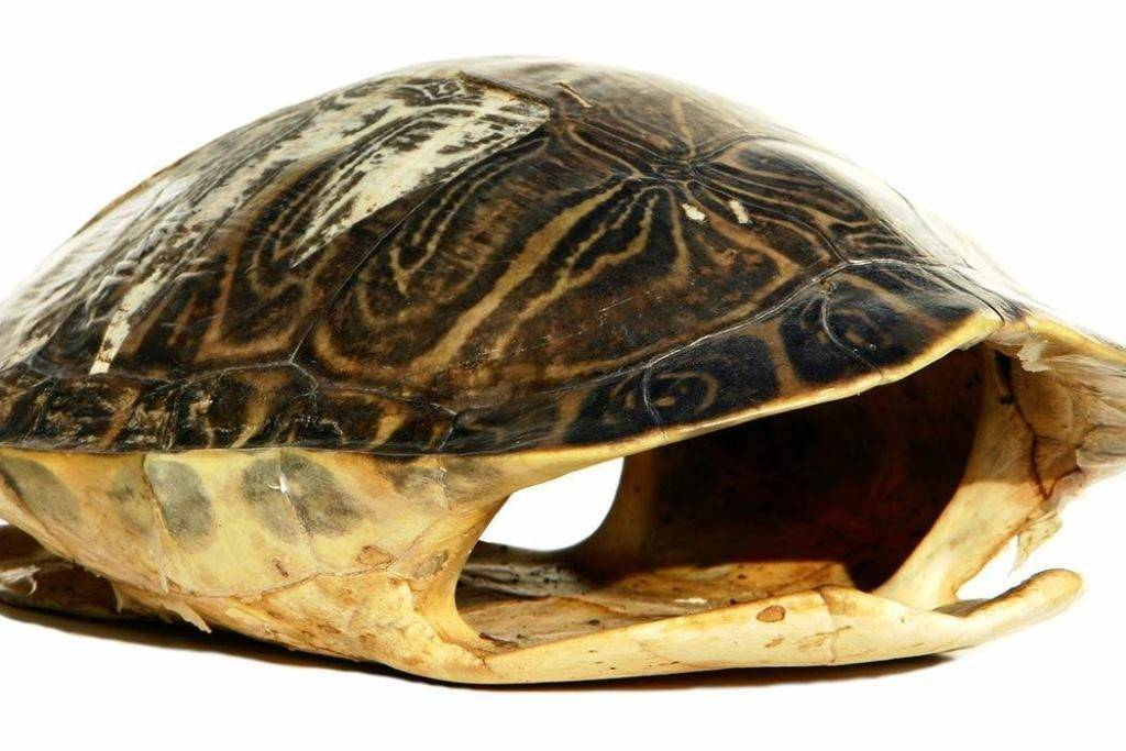 Черепаха – старинная рептилия