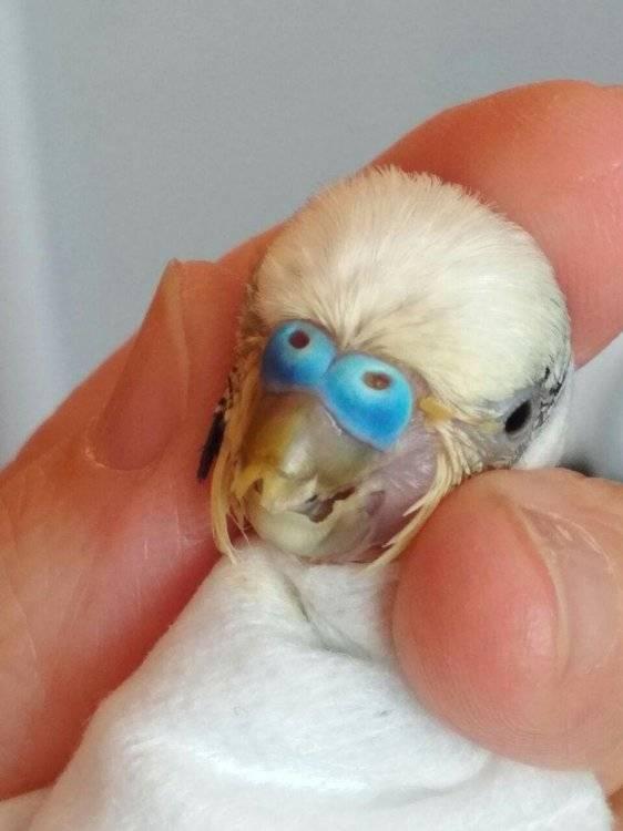 Что делать, если у попугая сломался клюв?