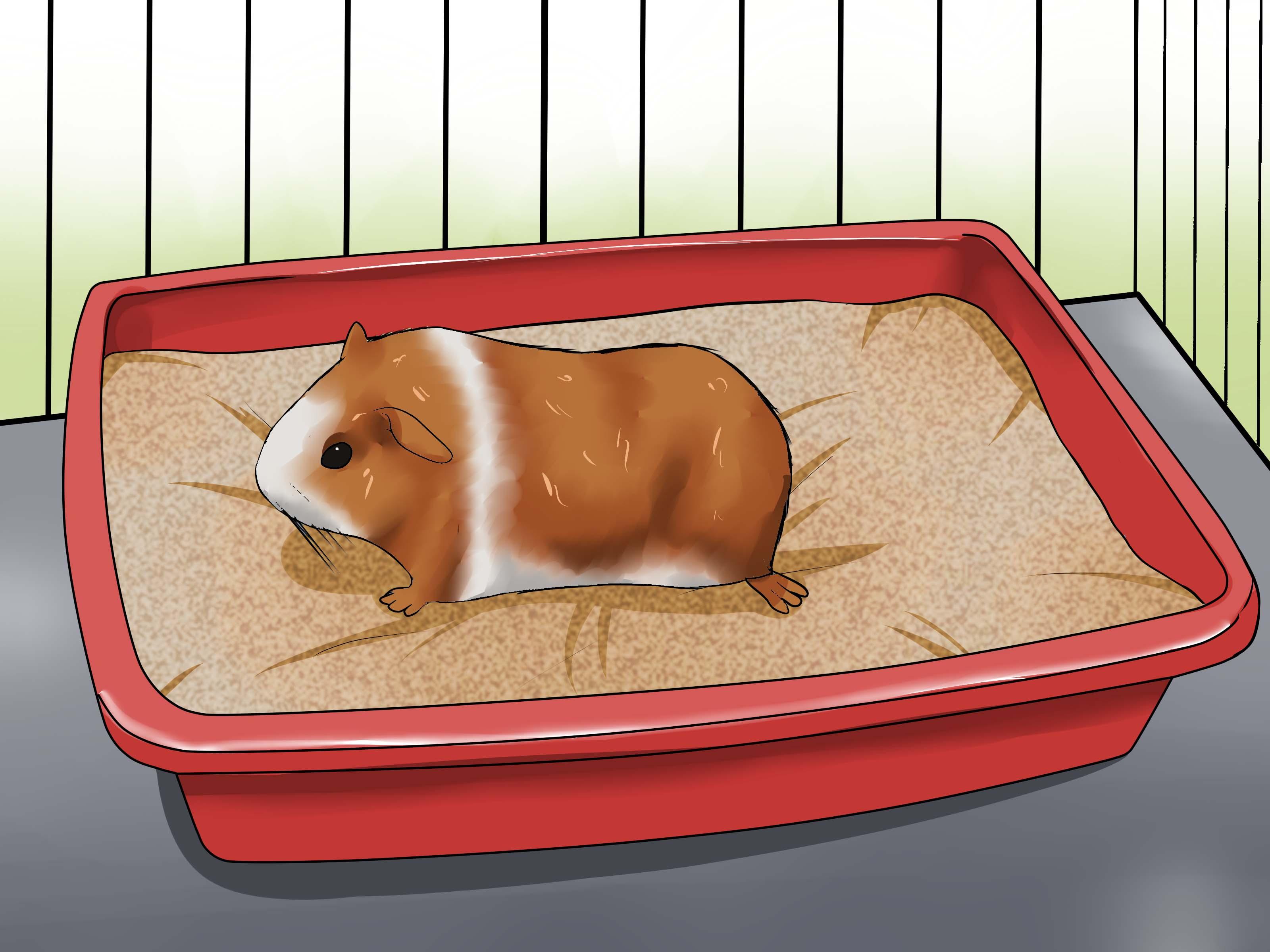 Дрессировка морских свинок: простые и сложные команды