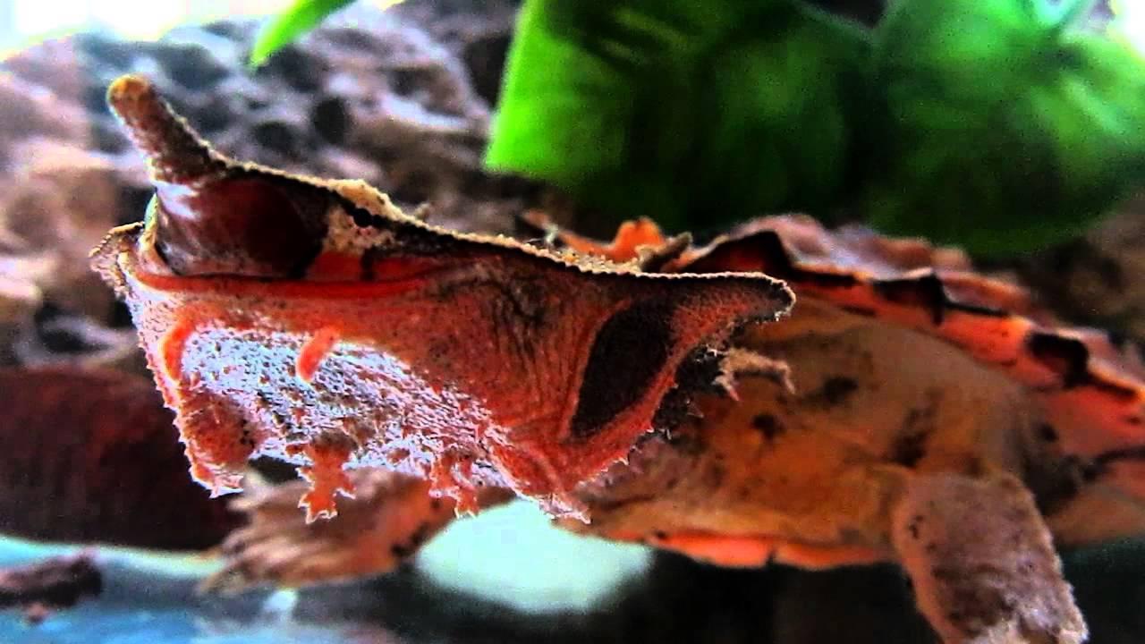 Бахромчатая черепаха википедия