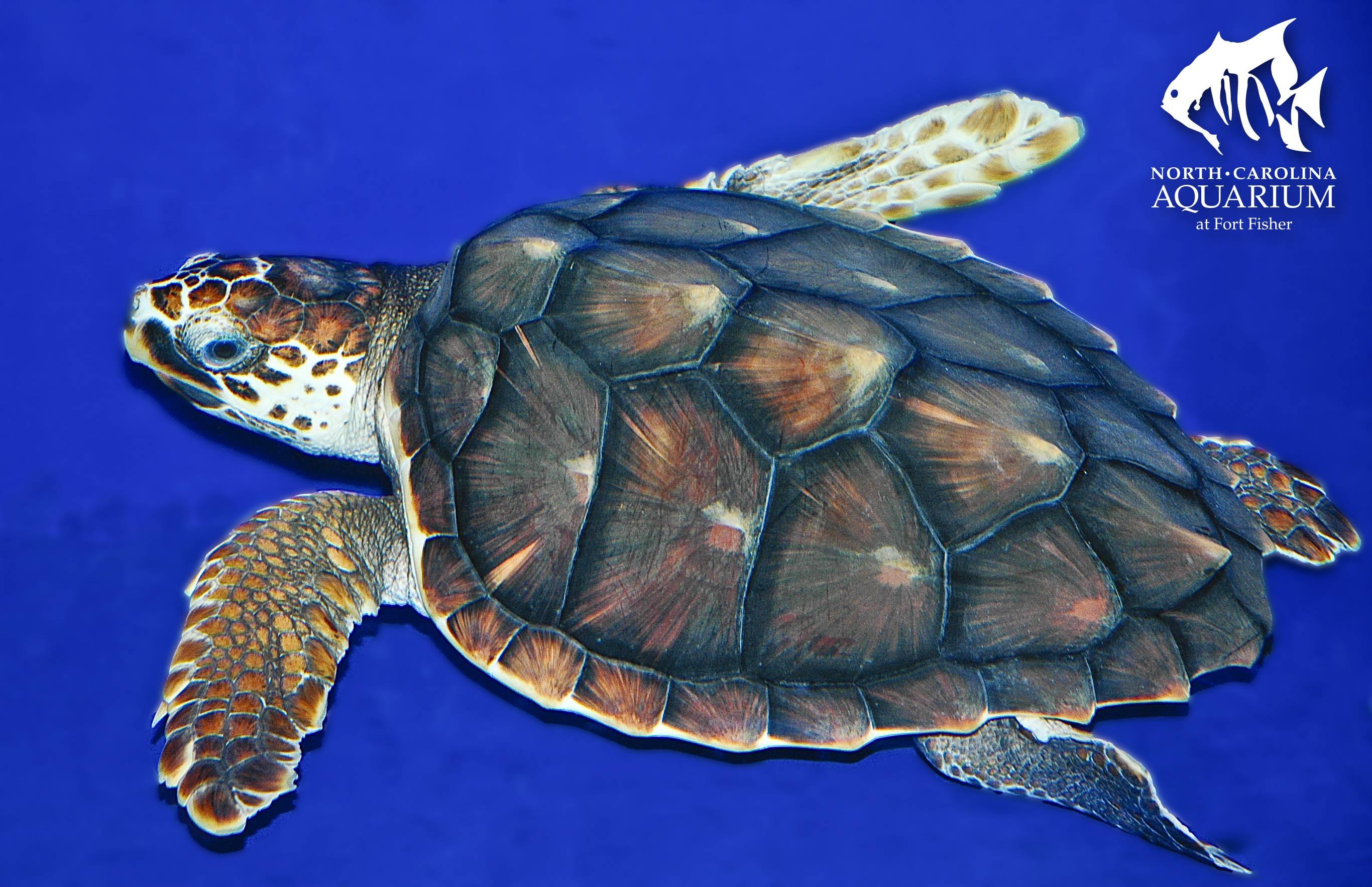 Chelonia mydas (зеленая черепаха, суповая черепаха)