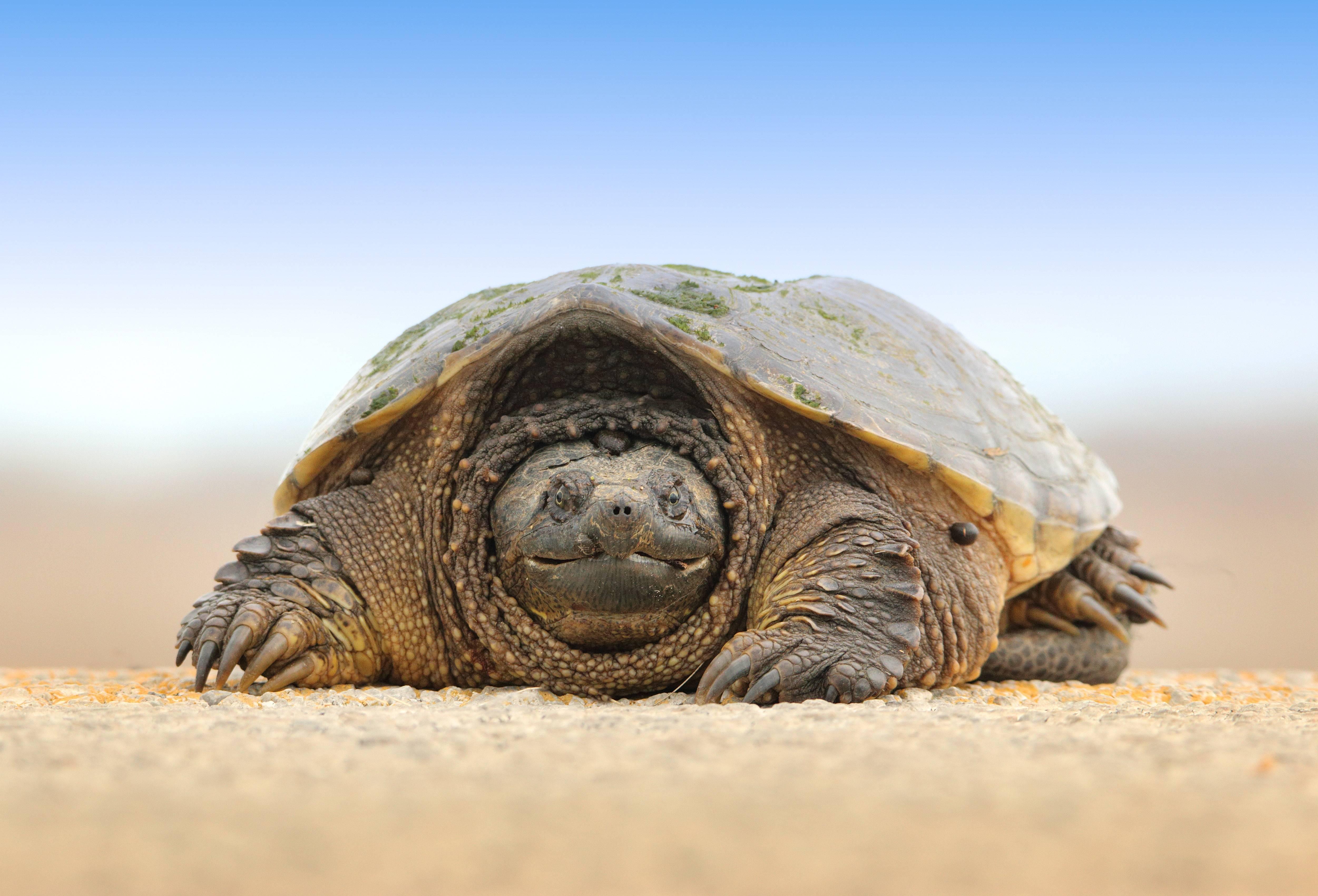 У красноухой черепахи слезятся глаза. черепаха не открывает опухшие глаза: болезни красноухой черепахи