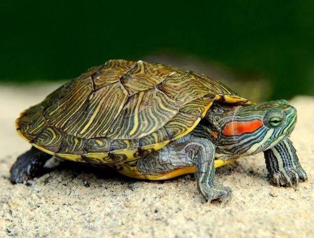 Черепаха в квартире плюсы и минусы. тортилла в доме: стоит ли заводить черепаху. какой вид черепах проще и интереснее