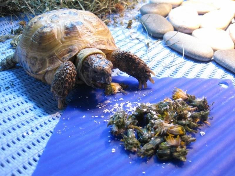 Виды и условия содержания домашних черепах