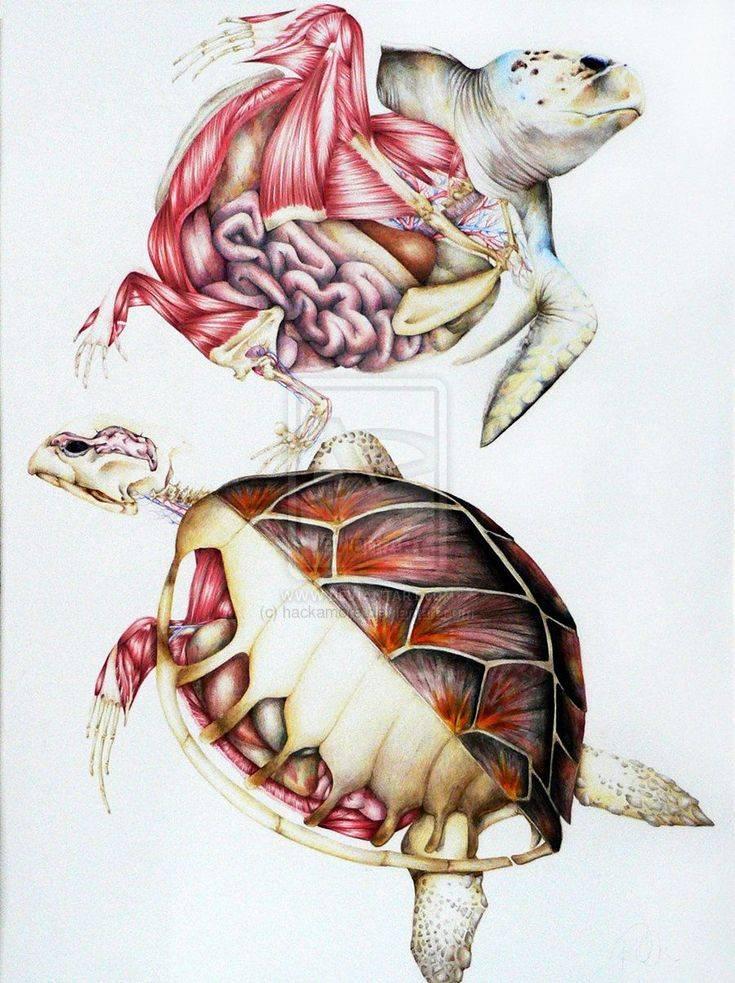 Скелет черепах: строение (фото)