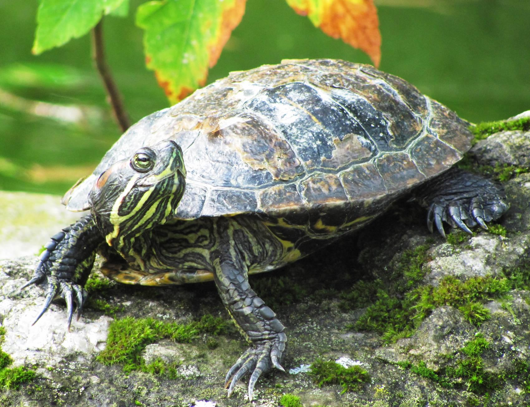 Спячка сухопутных черепах. как черепахи зимуют в природе черепаха спит зимой