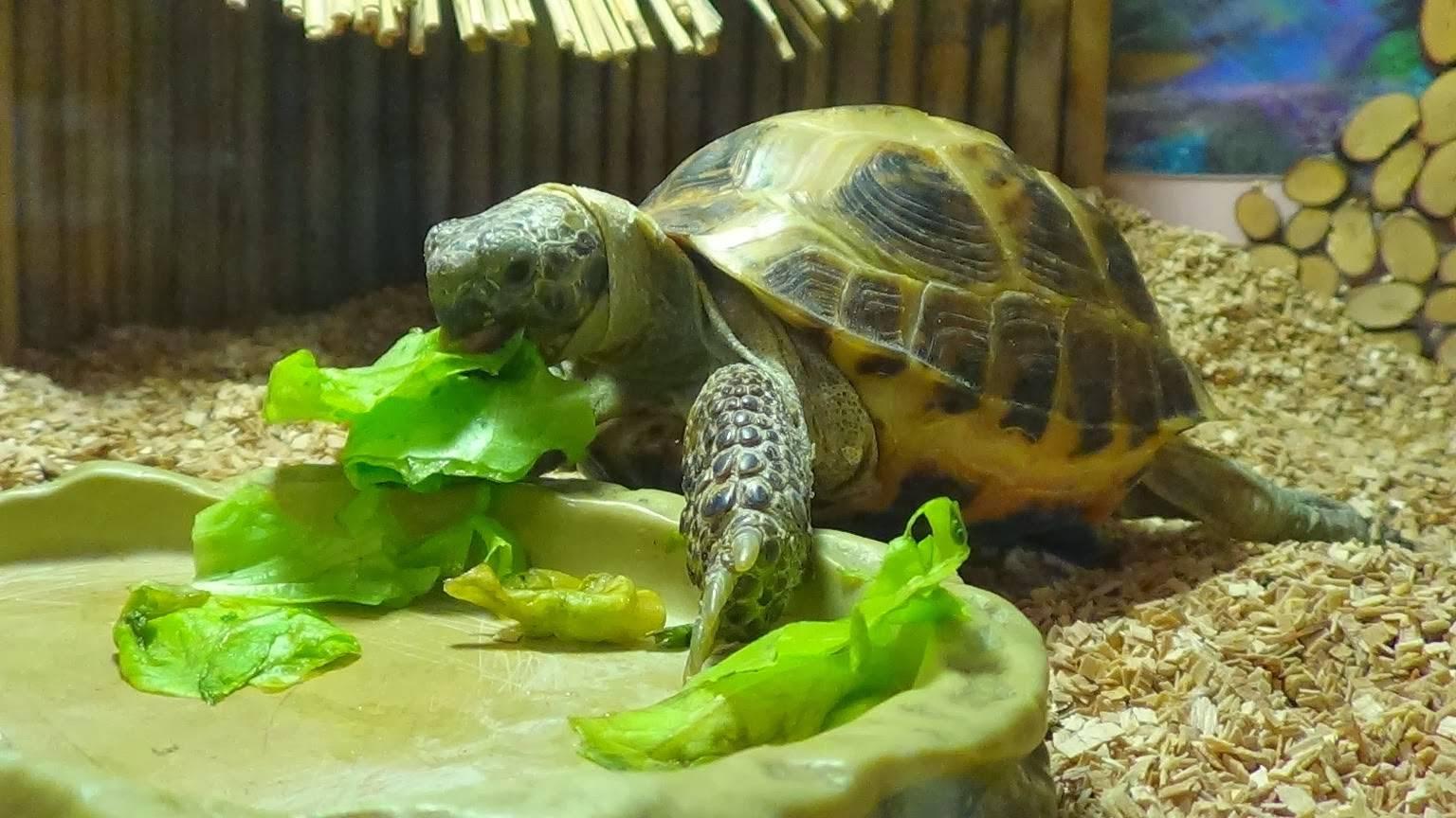 Среднеазиатская сухопутная черепаха: содержание и уход в домашних условиях
