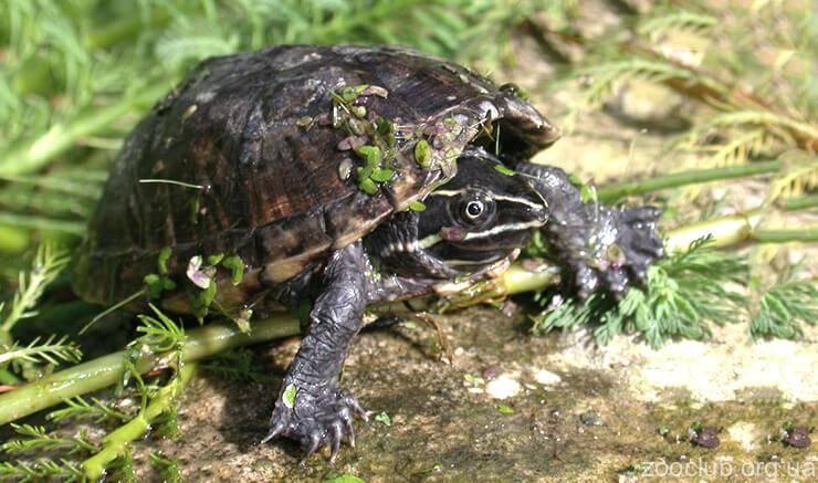 Обыкновенная мускусная черепаха - sternotherus odoratus - qwe.wiki