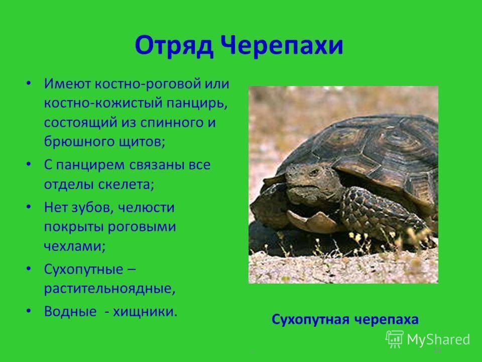 Карапакс черепах — википедия переиздание // wiki 2