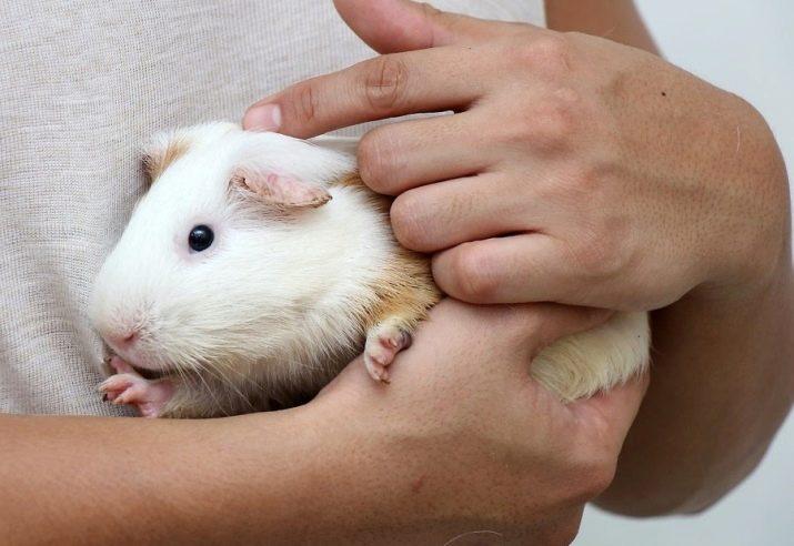 Завести морскую свинку или нет: плюсы и минусы