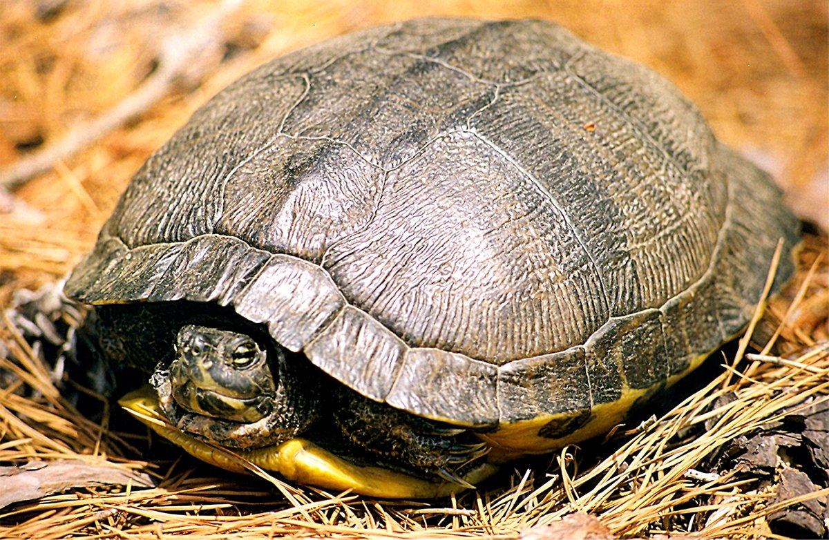 Засыпают ли черепахи на зиму. как черепахи зимуют в природе