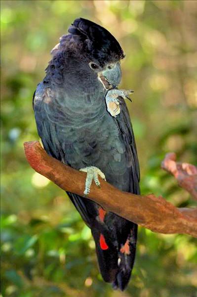 Черный краснохвостый какаду