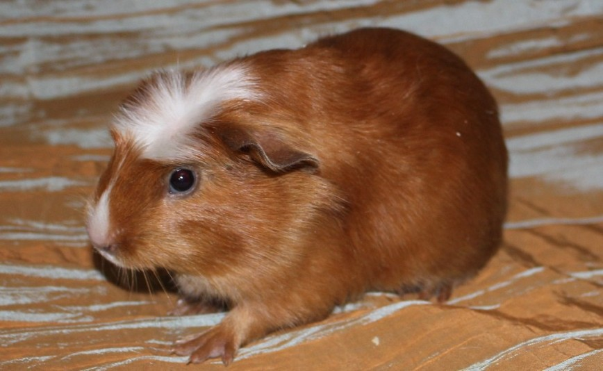 Возраст морской свинки: определяем по весу и сравниваем по отношению к человеку