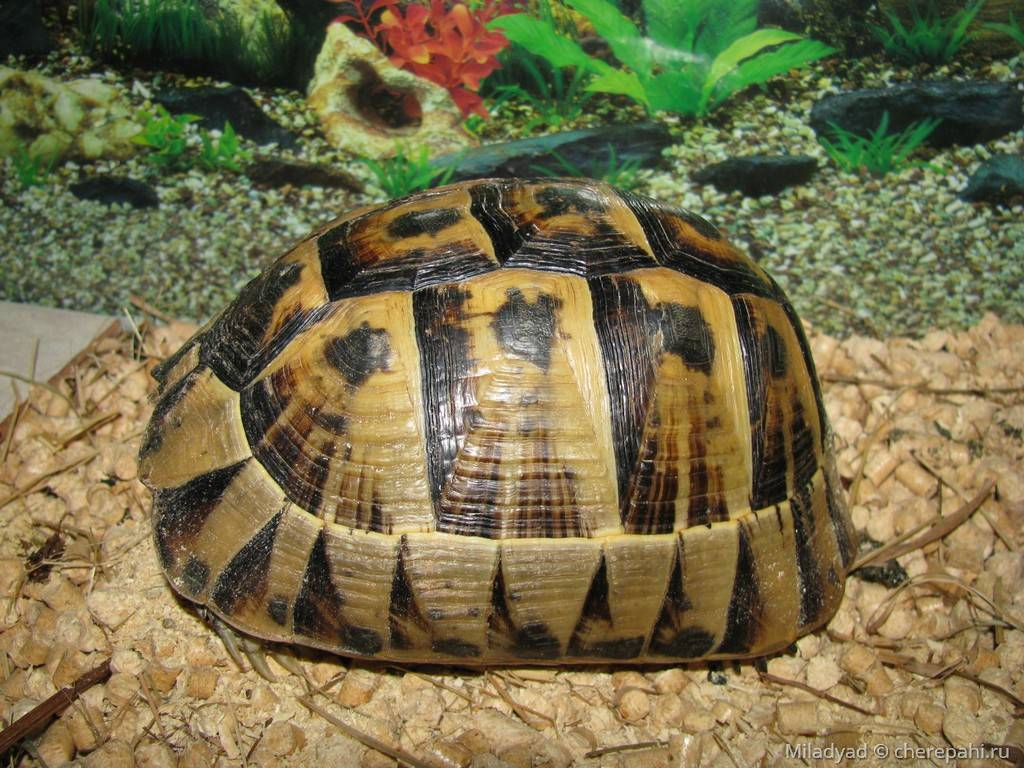 Средиземноморская черепаха