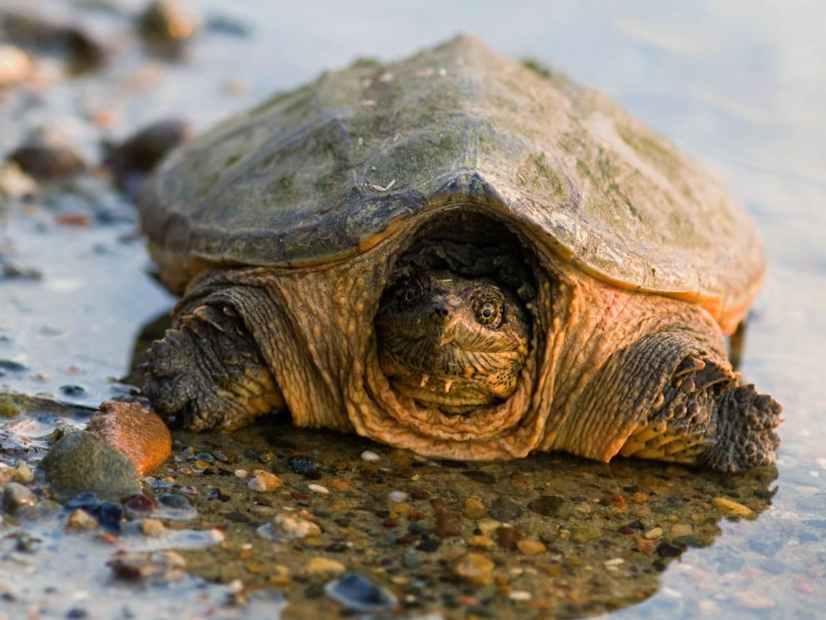 Особенности жизнедеятельности грифовых черепах